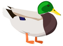 White Fat Duck Stock Illustrations.