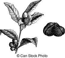 Theaceae Vector Clip Art EPS Images. 5 Theaceae clipart vector.