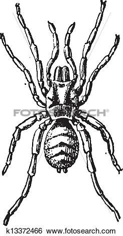 Clip Art of Tarantula or Theraphosidae, vintage engraving.