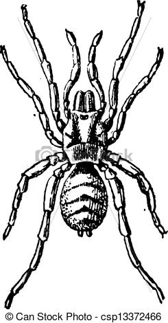 Clip Art Vector of Tarantula or Theraphosidae, vintage engraving.