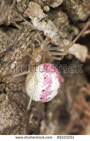 Theridiidae Stock Photos, Royalty.
