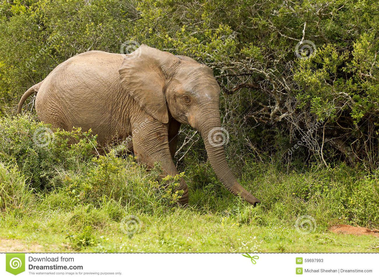 Elephant Waking In Thick Bush Stock Photo.