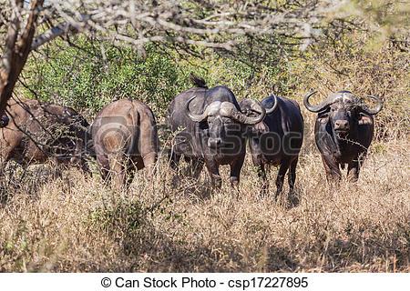 Stock Photographs of Buffalo Herd Bush Terrain.