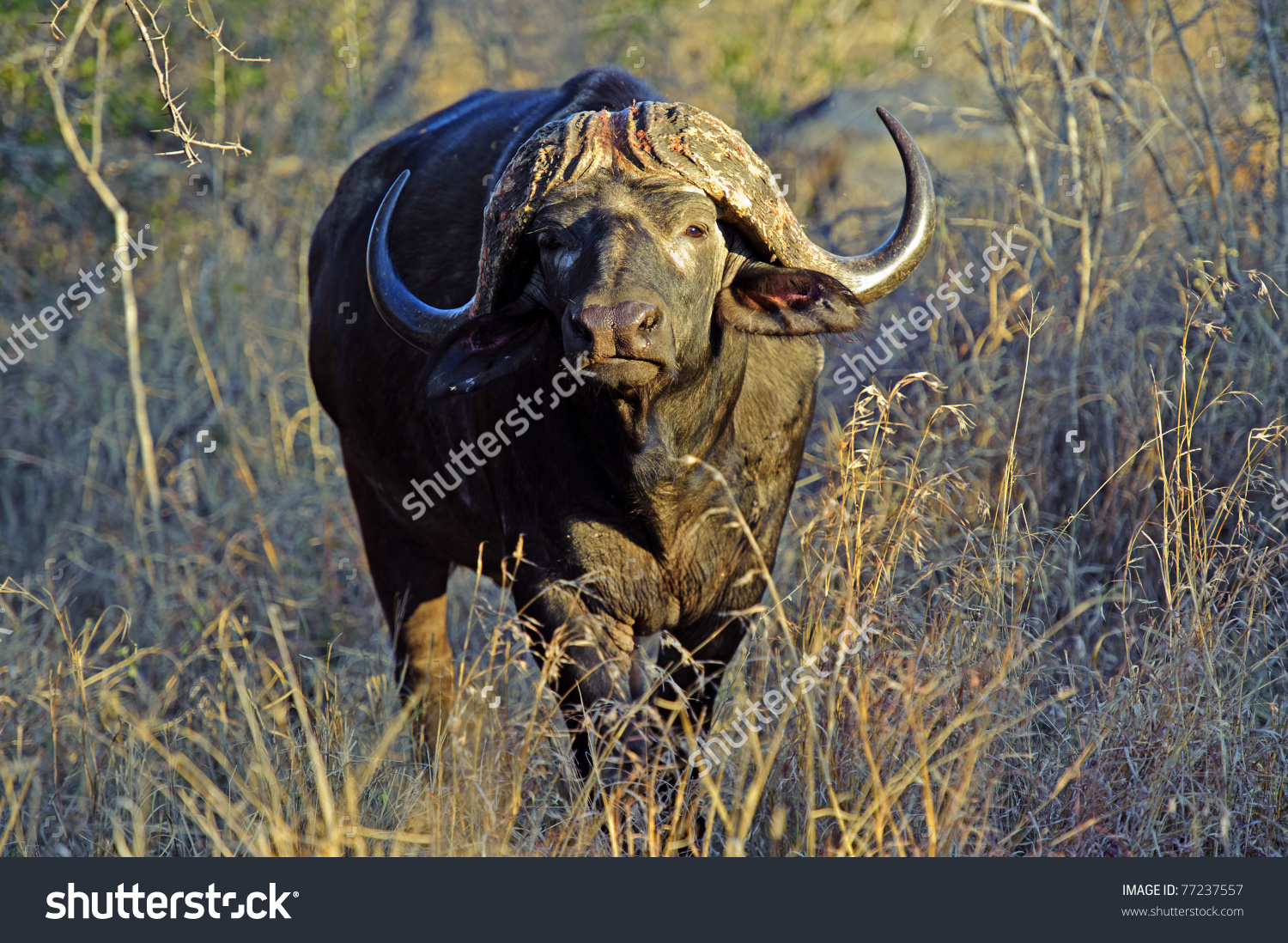 A Ferocious Buffalo Bull In Thick Bush Stock Photo 77237557.