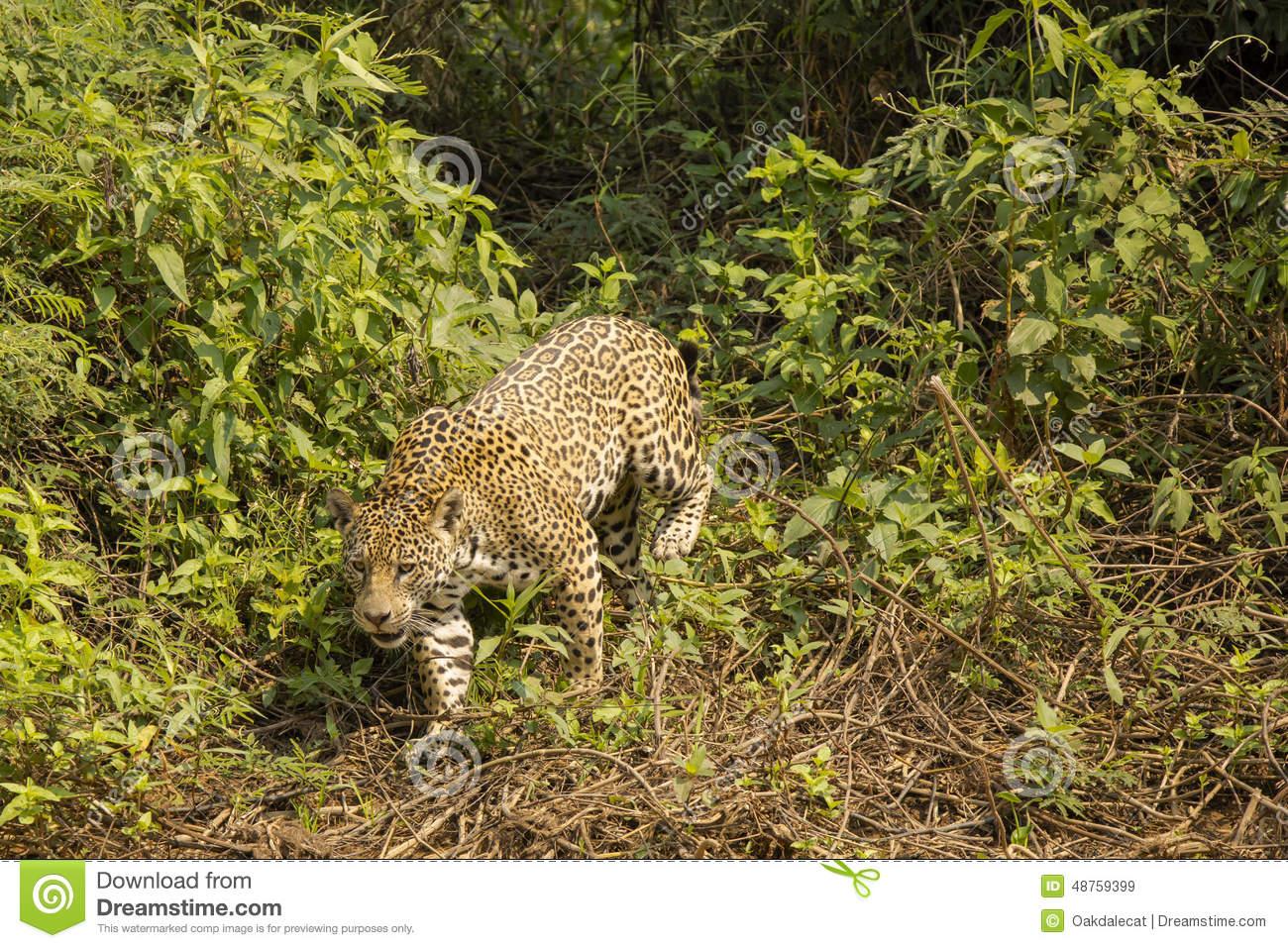 Wild Jaguar Stepping Through Bushes Vines Stock Photo.