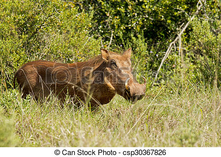 Stock Photo of Warthog male in thick bush.