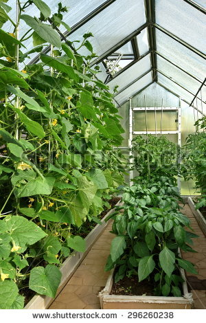 Growing Paprika Glasshouse The Netherlands Stock Photo 1163603.