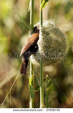Weaver Bird Stock Photos, Royalty.