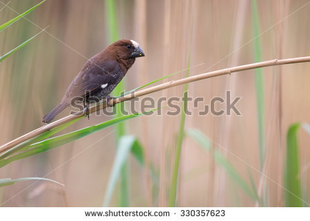 Kona Island Minah Bird On Palm Stock Photo 19412443.