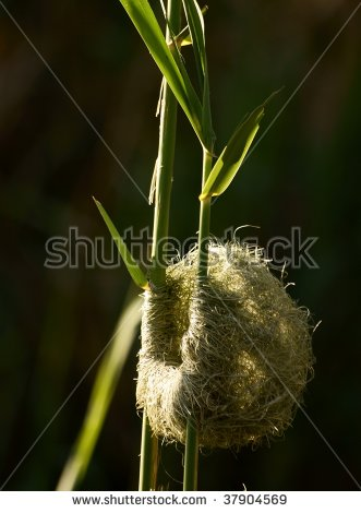 Weaver Bird Nest Stock Images, Royalty.