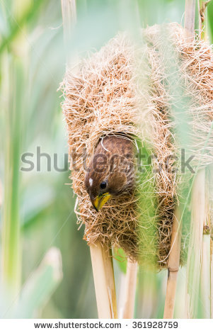 Bunch Ear Paddy Rice Hanging Aluminium Stock Photo 441585673.