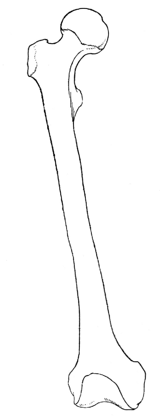 The best free Femur drawing images. Download from 20 free.