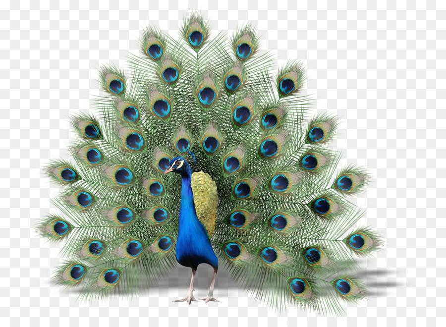 Bird Peafowl Thin Hair Thick (thinhairthick.com) Clip art.