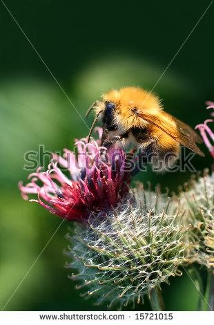 Thistle Bumblebee Stock Photos, Royalty.