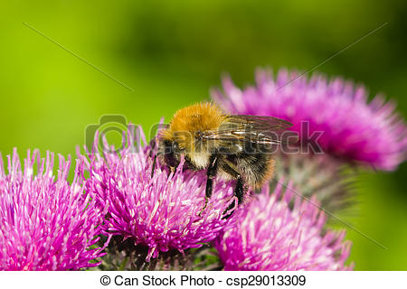 Stock Photography of bee on scotch thistle flower macro, selective.