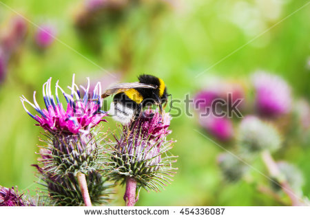 Bumblebee Stock Images, Royalty.