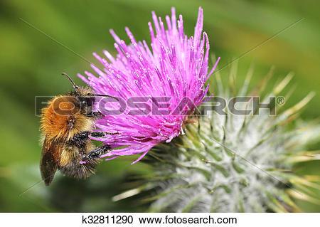 Stock Photography of Honey bee macro on a Scottish thistle.
