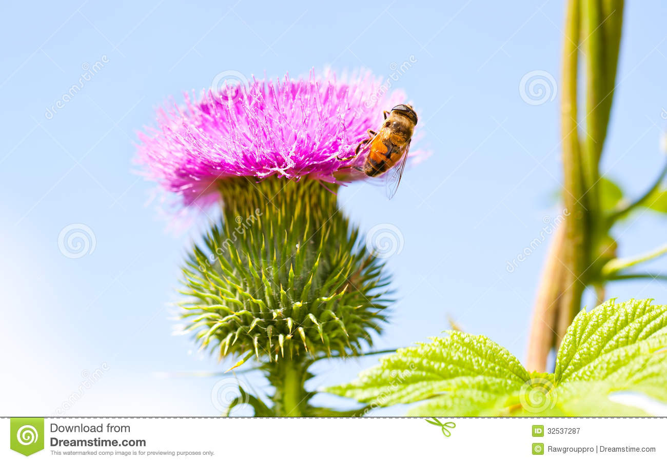 Wild Thistle With Pink Flower And Bee On Blue Background Royalty.