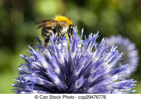 Picture of closeup of bumble bee on purple thistle or Echinops.