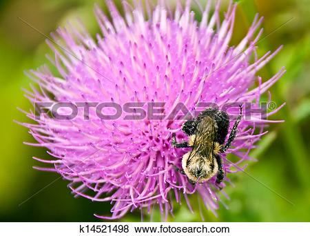 Pictures of Thistle and bee k14521498.