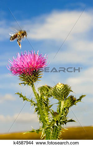 Stock Photo of A bee flew over the thistle flower k4587944.