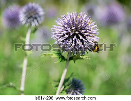 Pictures of Bee on a globe thistle is817.