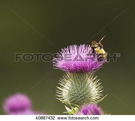 Stock Photo of Honey Bee On Thistle k0887432.