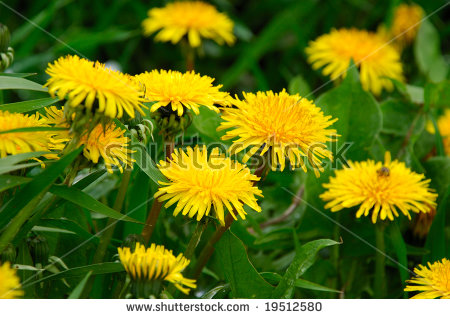 Flowers Dandelion Shallow Dof Closeup Stock Photo 30999685.