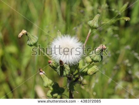 Thistle fluff clipart #17