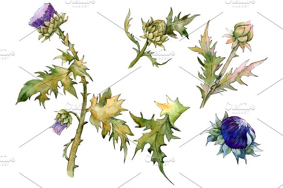 Watercolor thistle png.