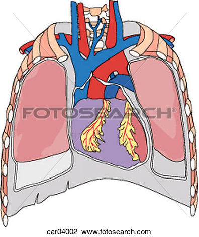Clip Art of Thoracic anatomy showing lungs, pleura, great vessels.