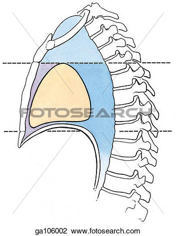 Clipart of Lateral view of the thoracic vertebrae, showing the.