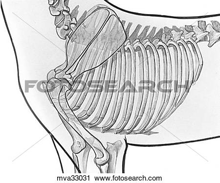Clipart of Thoracic wall, canine mva33031.