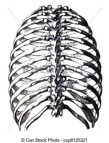 Clipart of Pencil drawing of human thorax isolated close.