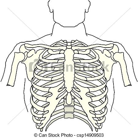 Vector Clipart of Human thorax csp14909503.