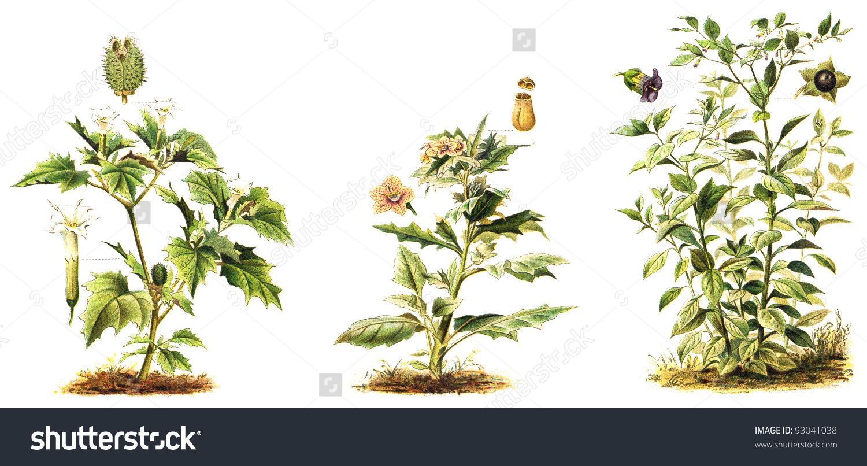 Left Thorn Apple Datura Stramonium Middle Stock Illustration.