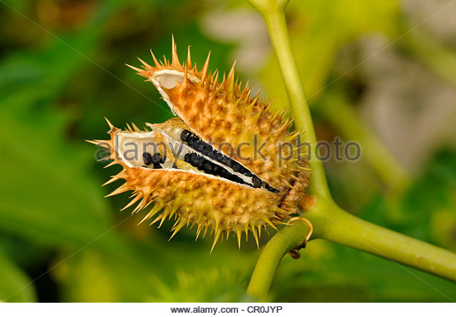 Thorn Apple Stock Photos & Thorn Apple Stock Images.