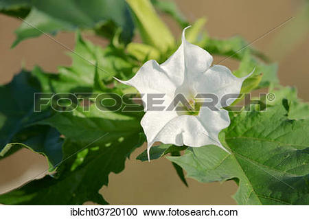 """Stock Photography of """"Jimson Weed or Thorn."""