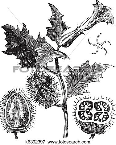 Clip Art of Thorn Apple or Jimson Weed or Datura stramonium.
