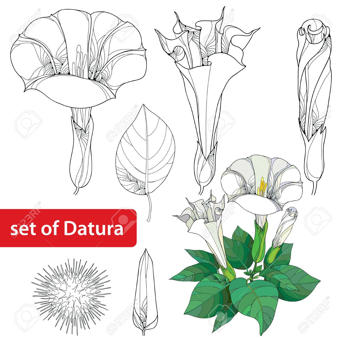 Set With Datura Stramonium Or Thorn Apple. Poisonous Plant. Flower.