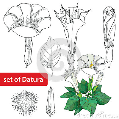 Stem With Datura Stramonium Or Thorn Apple. Poisonous Plant. Stock.
