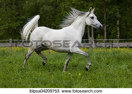 Stock Photo of Thoroughbred Arabian horse, white, trotting in a.