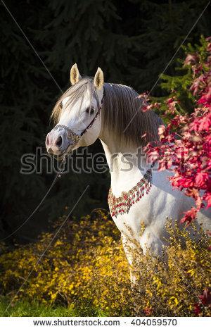 Arabian Thoroughbred Stock Photos, Royalty.