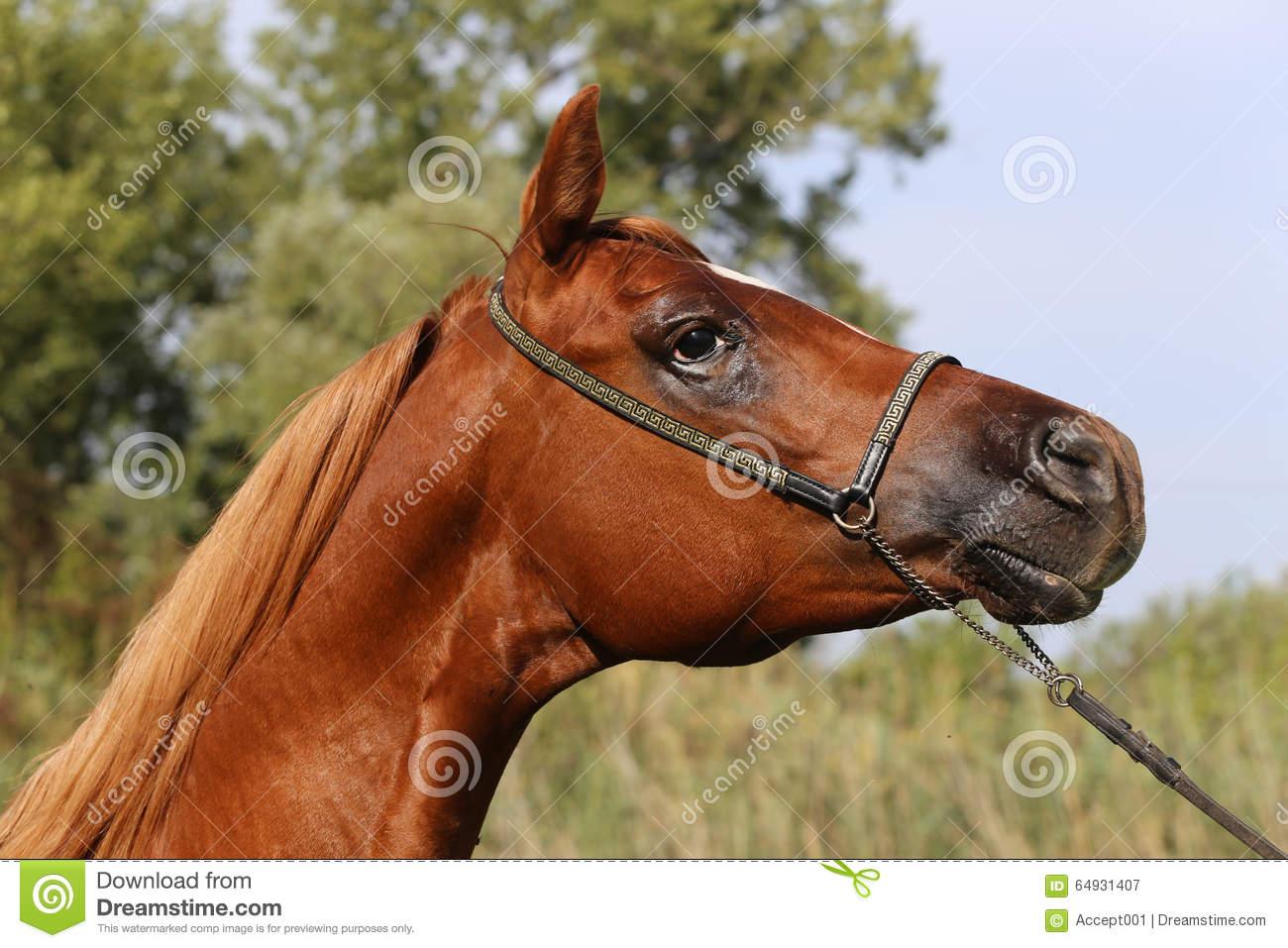 Beautiful Thoroughbred Arabian Horse Head At Farm Stock Photo.