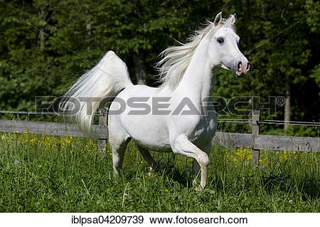 Stock Photograph of Thoroughbred Arabian horse, white, trotting in.