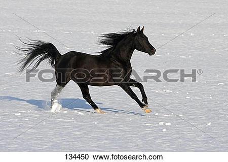 Stock Photography of Thoroughbred Arabian horse.