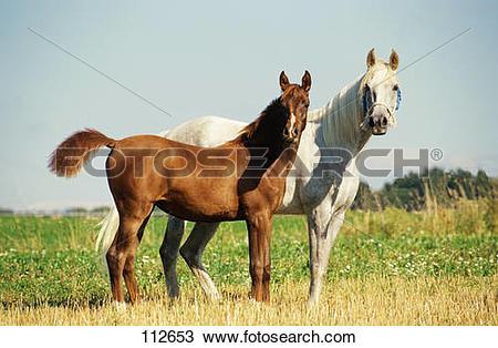 Stock Photo of thoroughbred Arabian horse.