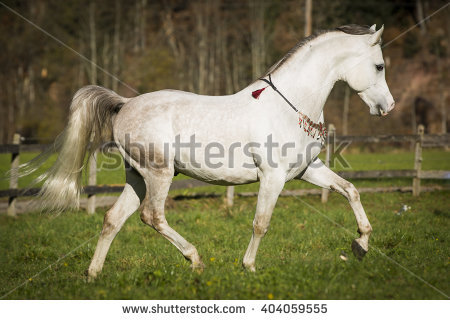 Arabian Thoroughbred Stock Images, Royalty.