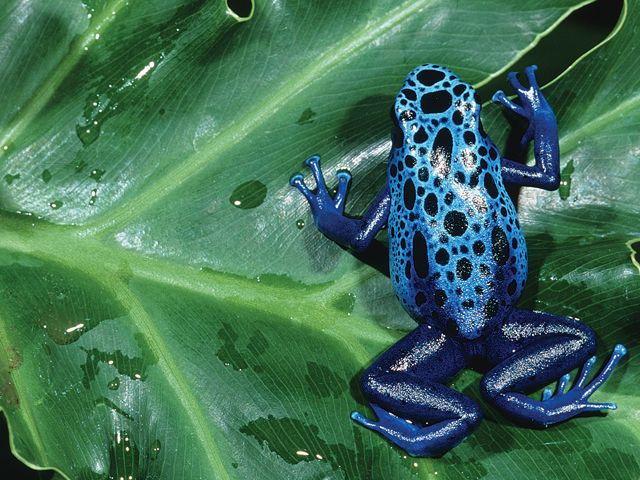 1000+ images about Poison Dart Frogs on Pinterest.