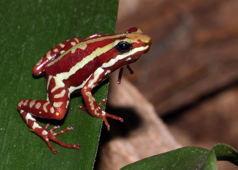 Phantasmal poison frog.